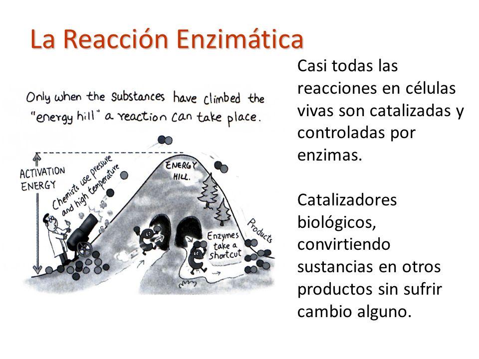 Casi todas las reacciones en células vivas son catalizadas y controladas por enzimas. Catalizadores biológicos, convirtiendo sustancias en otros produ