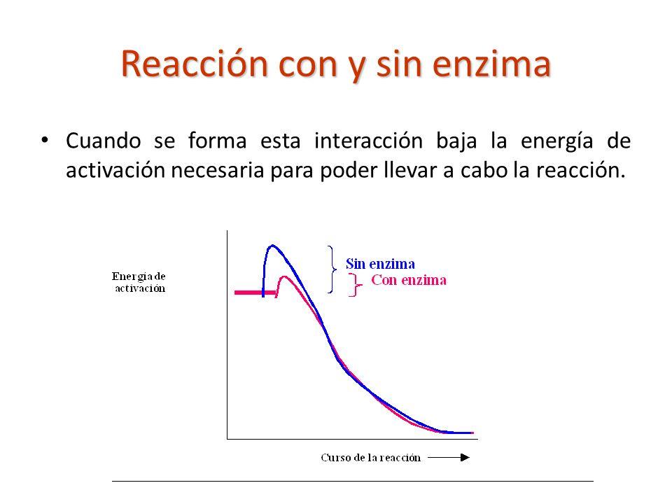 Reacción con y sin enzima Cuando se forma esta interacción baja la energía de activación necesaria para poder llevar a cabo la reacción.