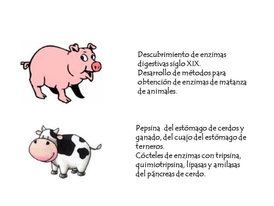 Descubrimiento de enzimas digestivas siglo XIX. Desarrollo de métodos para obtención de enzimas de matanza de animales. Pepsina del estómago de cerdos
