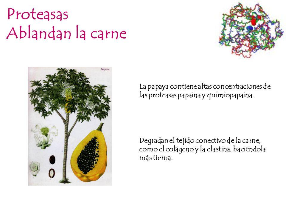 Proteasas Ablandan la carne La papaya contiene altas concentraciones de las proteasas papaina y quimiopapaina. Degradan el tejido conectivo de la carn