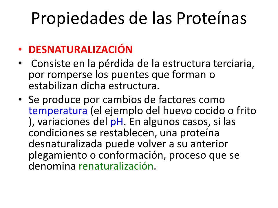Propiedades de las Proteínas DESNATURALIZACIÓN Consiste en la pérdida de la estructura terciaria, por romperse los puentes que forman o estabilizan di