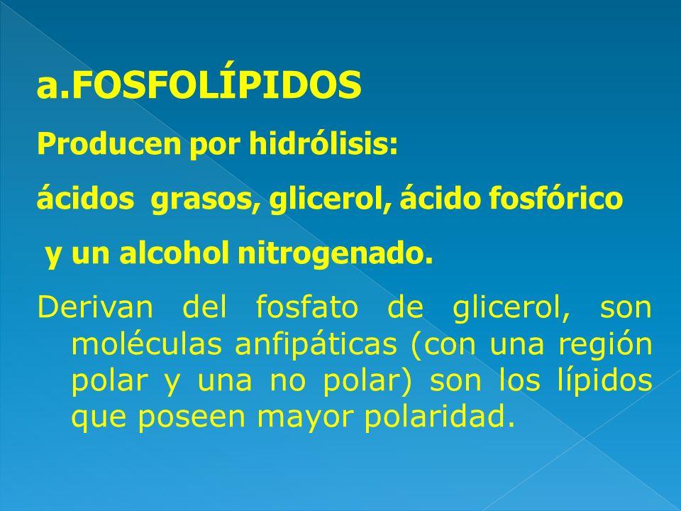 a.FOSFOLÍPIDOS Producen por hidrólisis: ácidos grasos, glicerol, ácido fosfórico y un alcohol nitrogenado. Derivan del fosfato de glicerol, son molécu