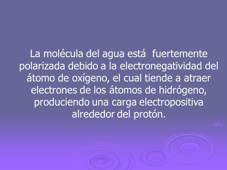 La molécula del agua está fuertemente polarizada debido a la electronegatividad del átomo de oxígeno, el cual tiende a atraer electrones de los átomos