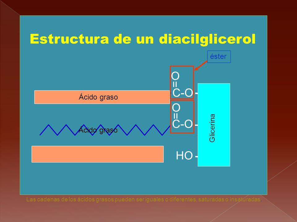 Estructura de un diacilglicerol HO CH 2 CH CH 2 C-O = O = O Glicerina Ácido graso éster Las cadenas de los ácidos grasos pueden ser iguales o diferent