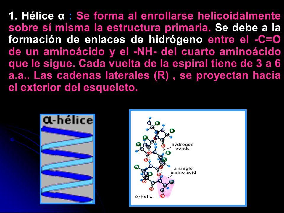 1. Hélice α : Se forma al enrollarse helicoidalmente sobre sí misma la estructura primaria. Se debe a la formación de enlaces de hidrógeno entre el -C