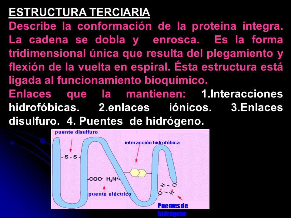 ESTRUCTURA TERCIARIA Describe la conformación de la proteína íntegra. La cadena se dobla y enrosca. Es la forma tridimensional única que resulta del p