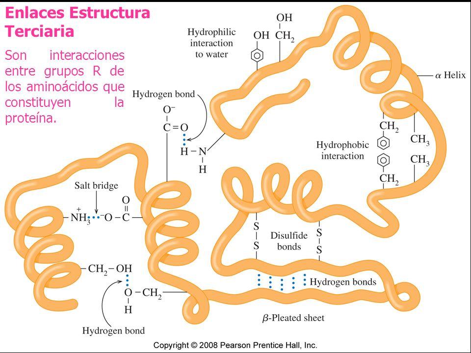 Enlaces Estructura Terciaria Son interacciones entre grupos R de los aminoácidos que constituyen la proteína.