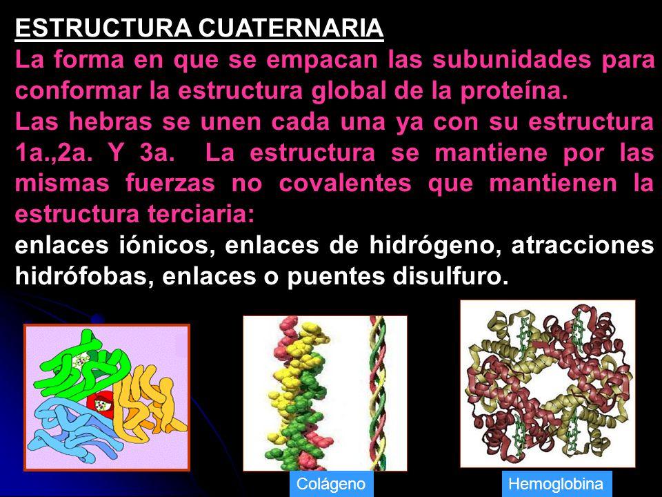 ESTRUCTURA CUATERNARIA La forma en que se empacan las subunidades para conformar la estructura global de la proteína. Las hebras se unen cada una ya c