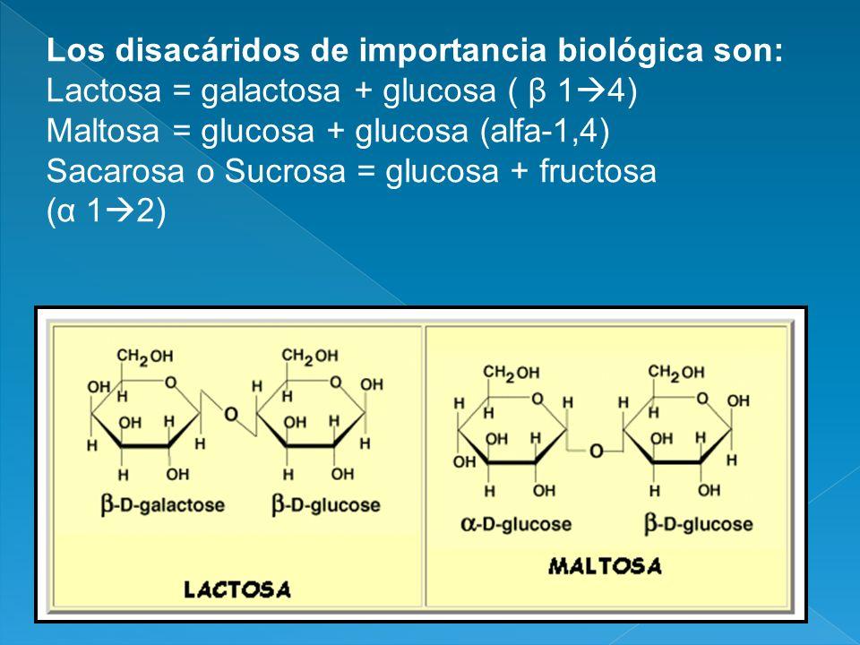 Los disacáridos de importancia biológica son: Lactosa = galactosa + glucosa ( β 1 4) Maltosa = glucosa + glucosa (alfa-1,4) Sacarosa o Sucrosa = gluco