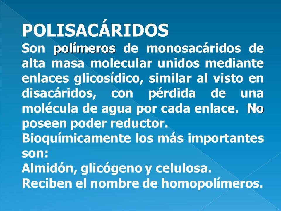 POLISACÁRIDOS polímeros No Son polímeros de monosacáridos de alta masa molecular unidos mediante enlaces glicosídico, similar al visto en disacáridos,