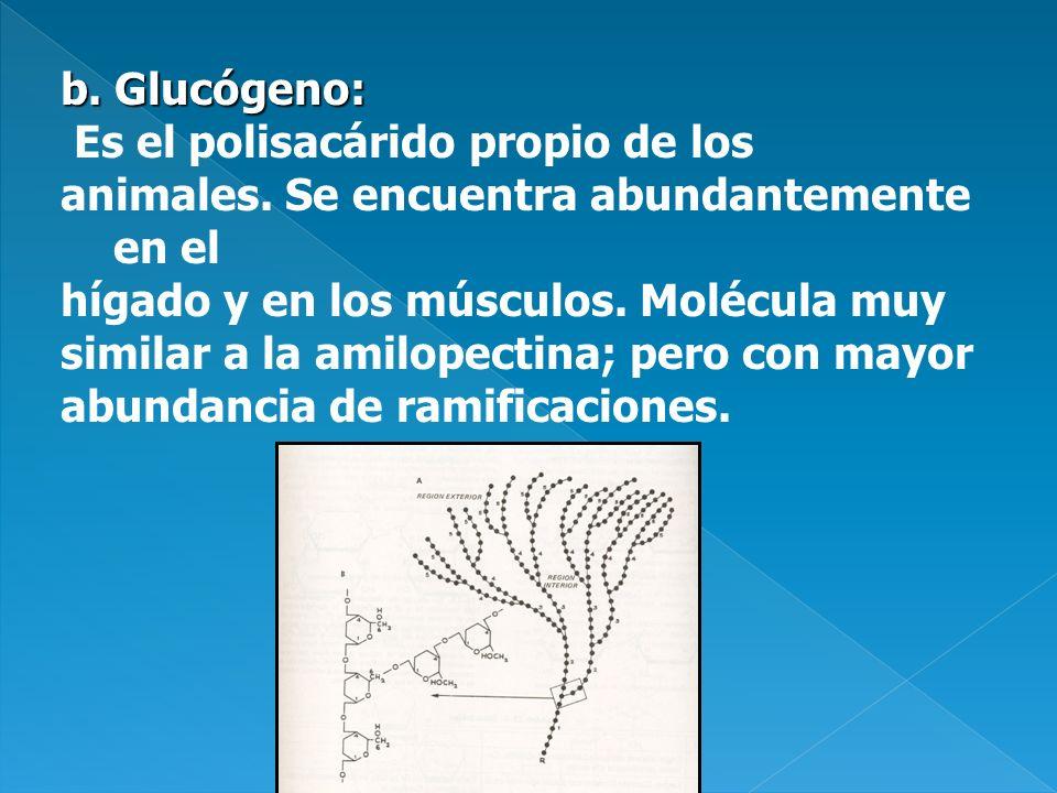b. Glucógeno: Es el polisacárido propio de los animales. Se encuentra abundantemente en el hígado y en los músculos. Molécula muy similar a la amilope