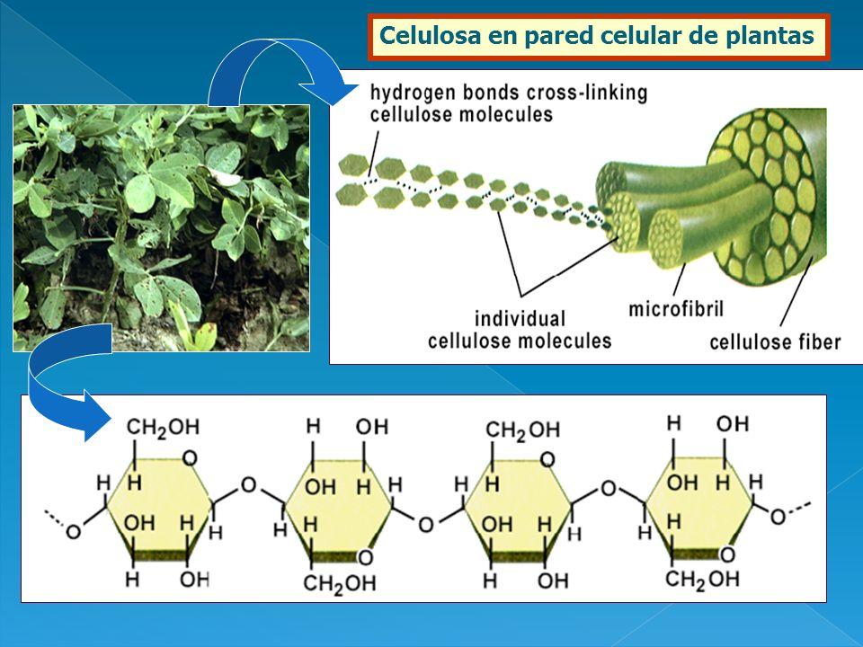 Celulosa en pared celular de plantas