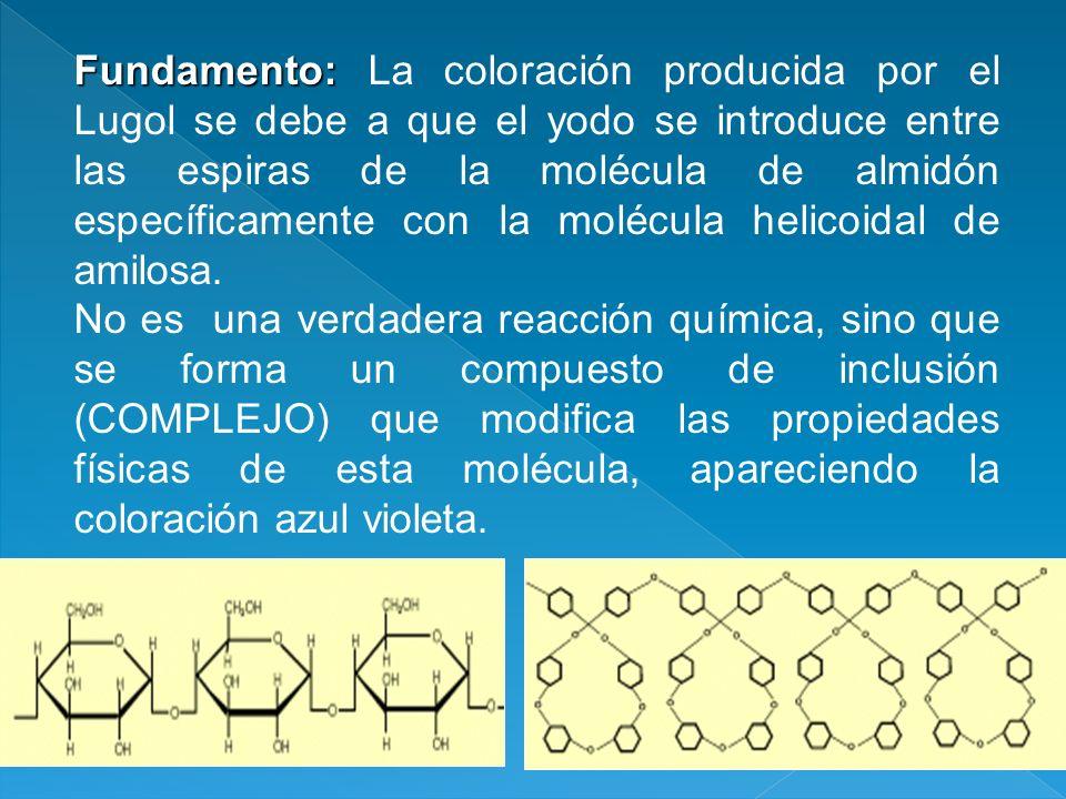 Fundamento: Fundamento: La coloración producida por el Lugol se debe a que el yodo se introduce entre las espiras de la molécula de almidón específica