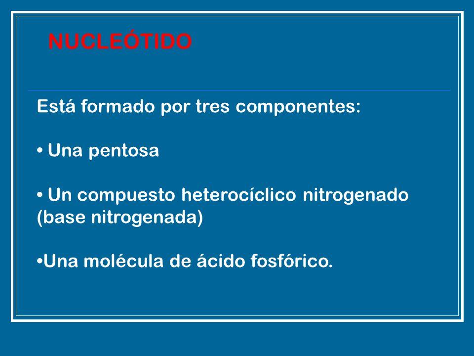 Está formado por tres componentes: Una pentosa Un compuesto heterocíclico nitrogenado (base nitrogenada) Una molécula de ácido fosfórico. NUCLEÓTIDO
