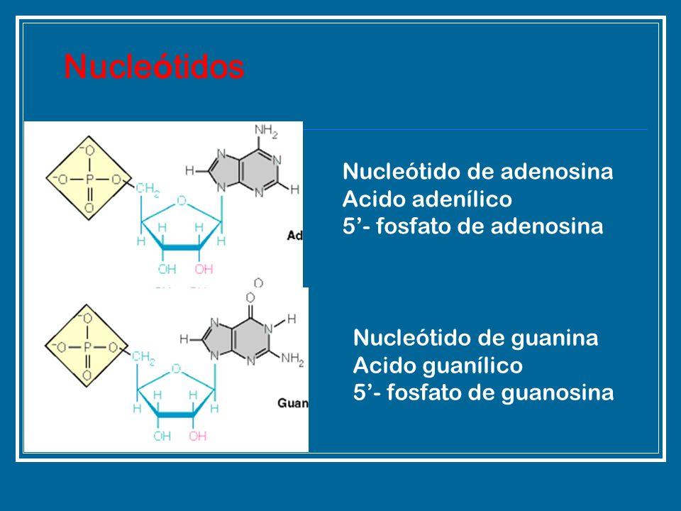 Nucleótido de adenosina Acido adenílico 5- fosfato de adenosina Nucle ó tidos Nucleótido de guanina Acido guanílico 5- fosfato de guanosina