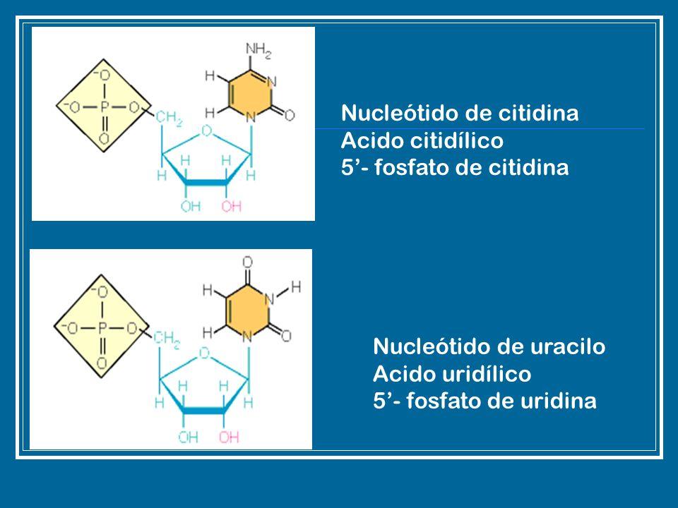 Nucleótido de citidina Acido citidílico 5- fosfato de citidina Nucleótido de uracilo Acido uridílico 5- fosfato de uridina