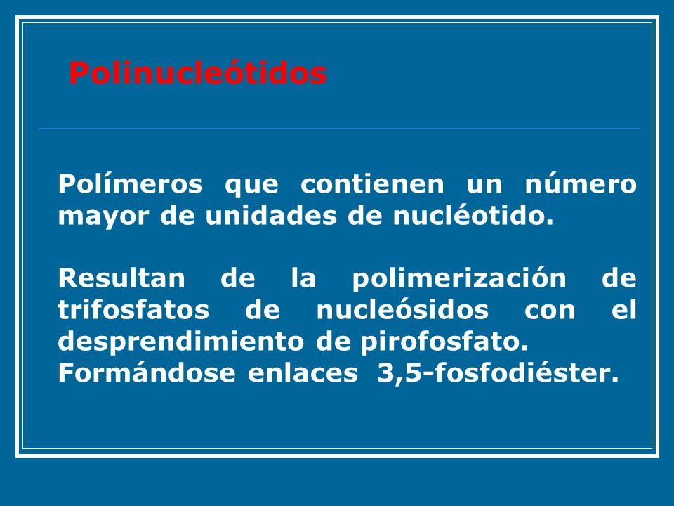 Polímeros que contienen un número mayor de unidades de nucléotido. Resultan de la polimerización de trifosfatos de nucleósidos con el desprendimiento