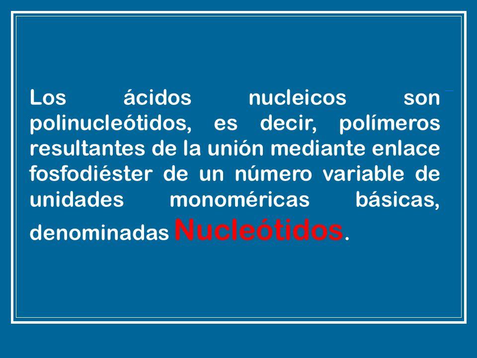 Los ácidos nucleicos son polinucleótidos, es decir, polímeros resultantes de la unión mediante enlace fosfodiéster de un número variable de unidades m