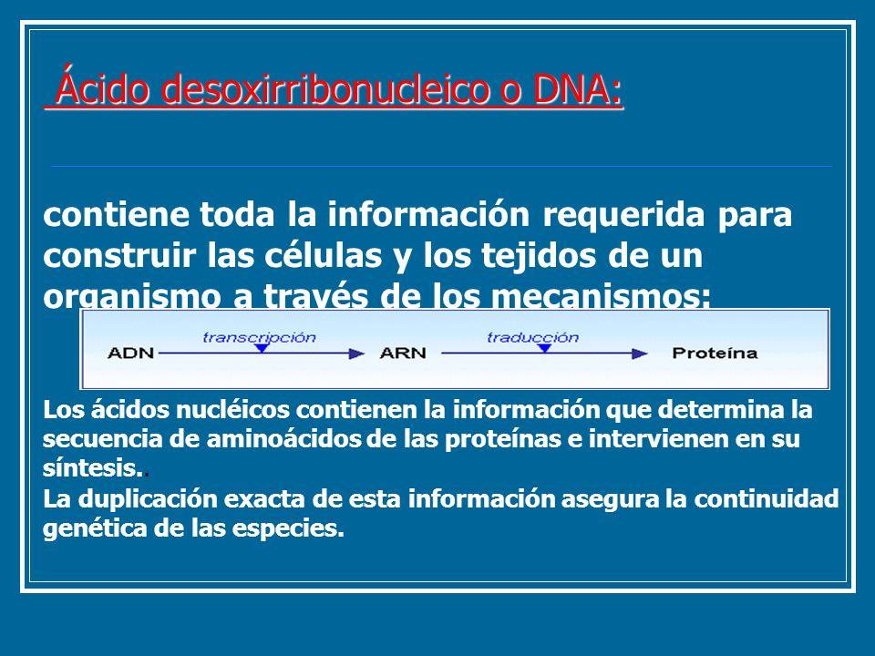 Ácido desoxirribonucleico o DNA: Ácido desoxirribonucleico o DNA: contiene toda la información requerida para construir las células y los tejidos de u