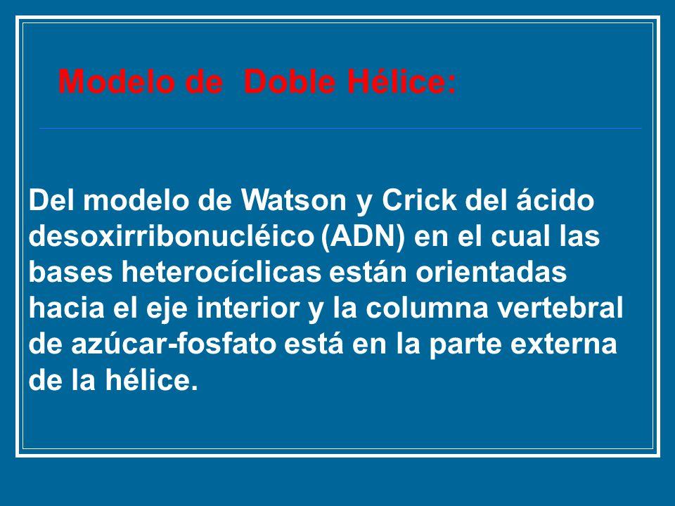Del modelo de Watson y Crick del ácido desoxirribonucléico (ADN) en el cual las bases heterocíclicas están orientadas hacia el eje interior y la colum