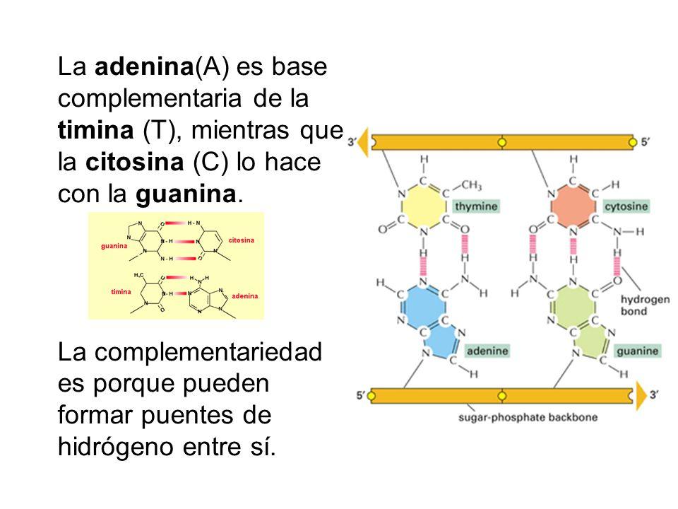 La adenina(A) es base complementaria de la timina (T), mientras que la citosina (C) lo hace con la guanina. La complementariedad es porque pueden form