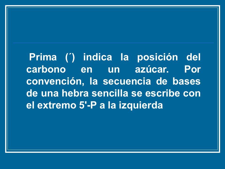 Prima (´) indica la posición del carbono en un azúcar. Por convención, la secuencia de bases de una hebra sencilla se escribe con el extremo 5'-P a la