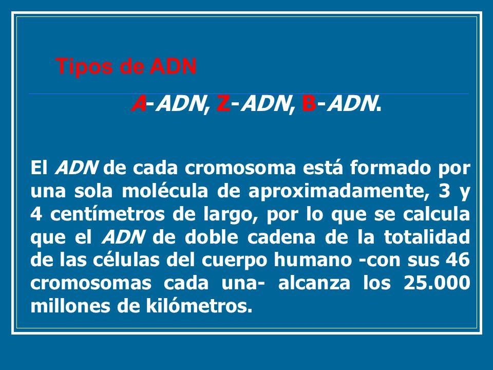 A-ADN, Z-ADN, B-ADN. El ADN de cada cromosoma está formado por una sola molécula de aproximadamente, 3 y 4 centímetros de largo, por lo que se calcula