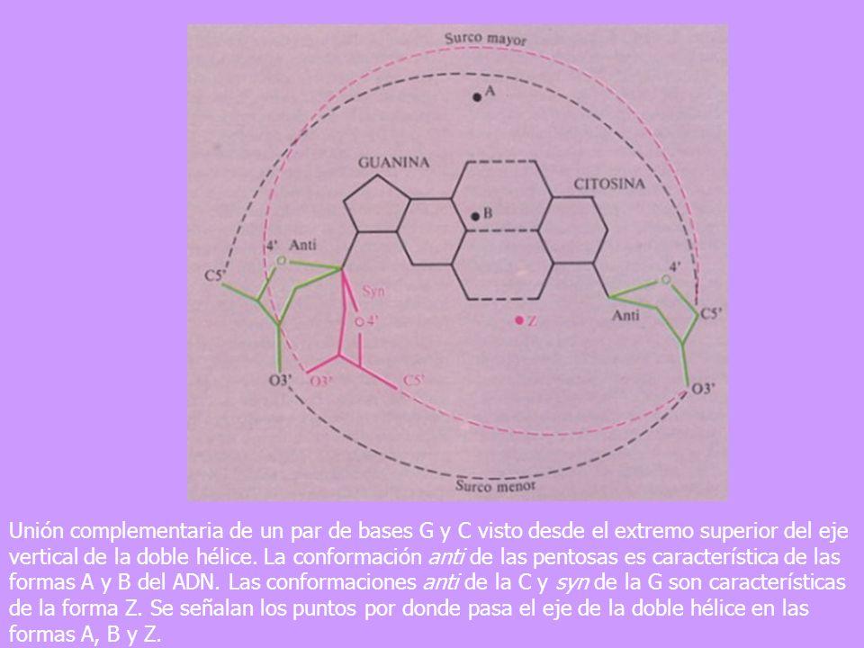 Unión complementaria de un par de bases G y C visto desde el extremo superior del eje vertical de la doble hélice. La conformación anti de las pentosa