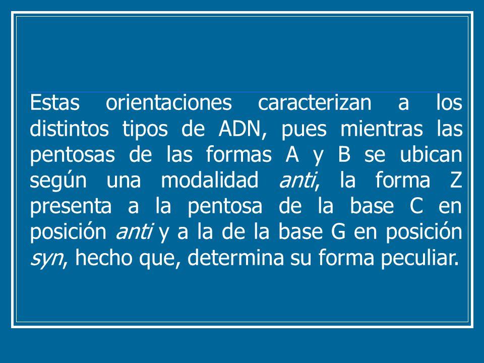 Estas orientaciones caracterizan a los distintos tipos de ADN, pues mientras las pentosas de las formas A y B se ubican según una modalidad anti, la f