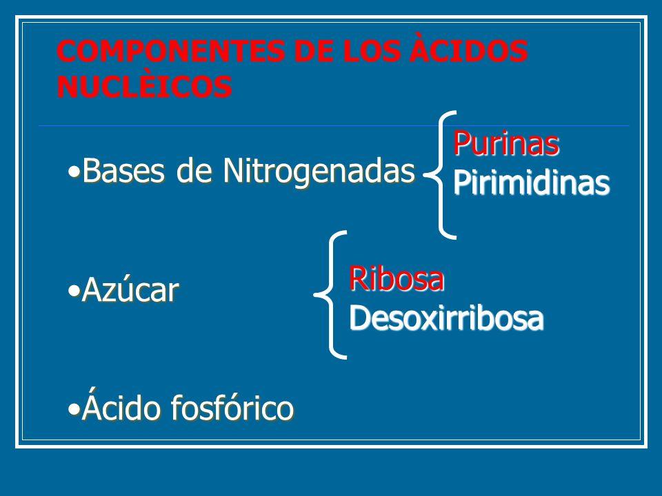 Bases de NitrogenadasBases de Nitrogenadas AzúcarAzúcar Ácido fosfóricoÁcido fosfórico PurinasPirimidinas RibosaDesoxirribosa COMPONENTES DE LOS ÀCIDO