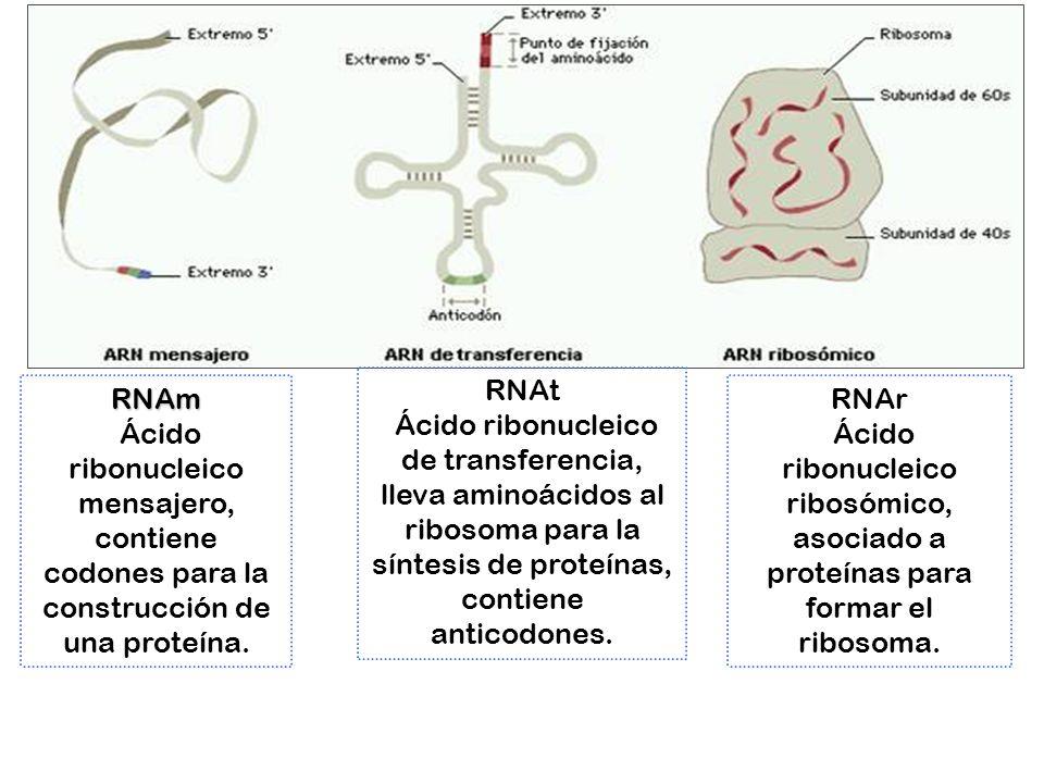 RNAm Ácido ribonucleico mensajero, contiene codones para la construcción de una proteína. RNAr Ácido ribonucleico ribosómico, asociado a proteínas par