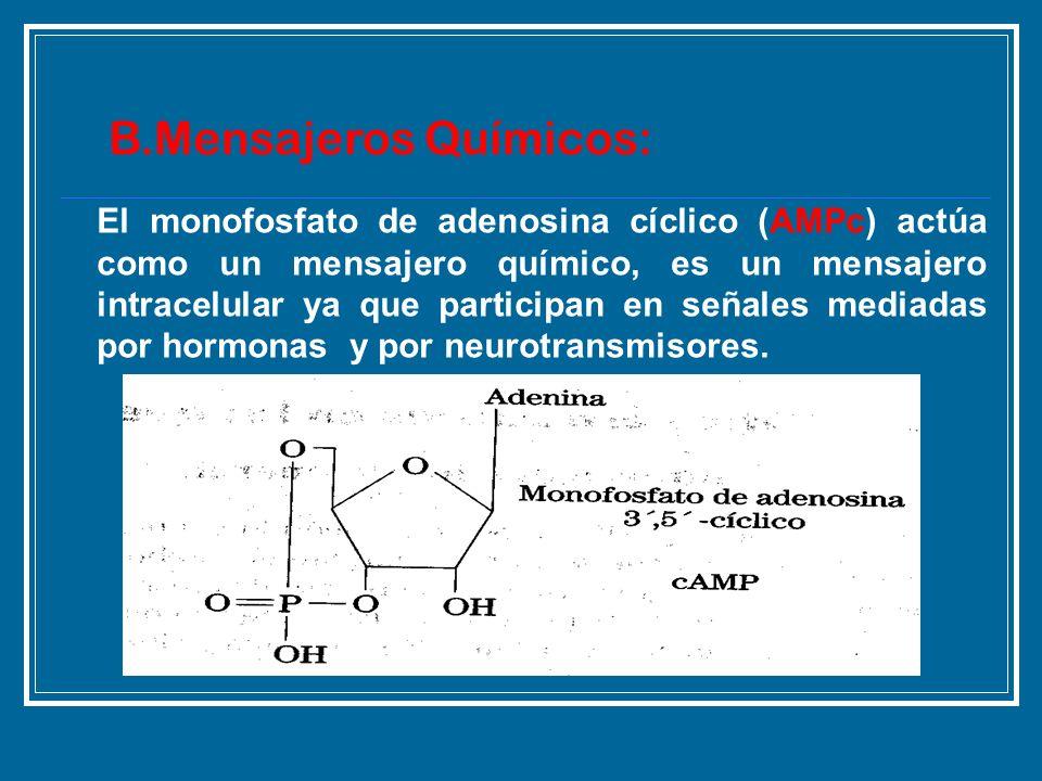 El monofosfato de adenosina cíclico (AMPc) actúa como un mensajero químico, es un mensajero intracelular ya que participan en señales mediadas por hor