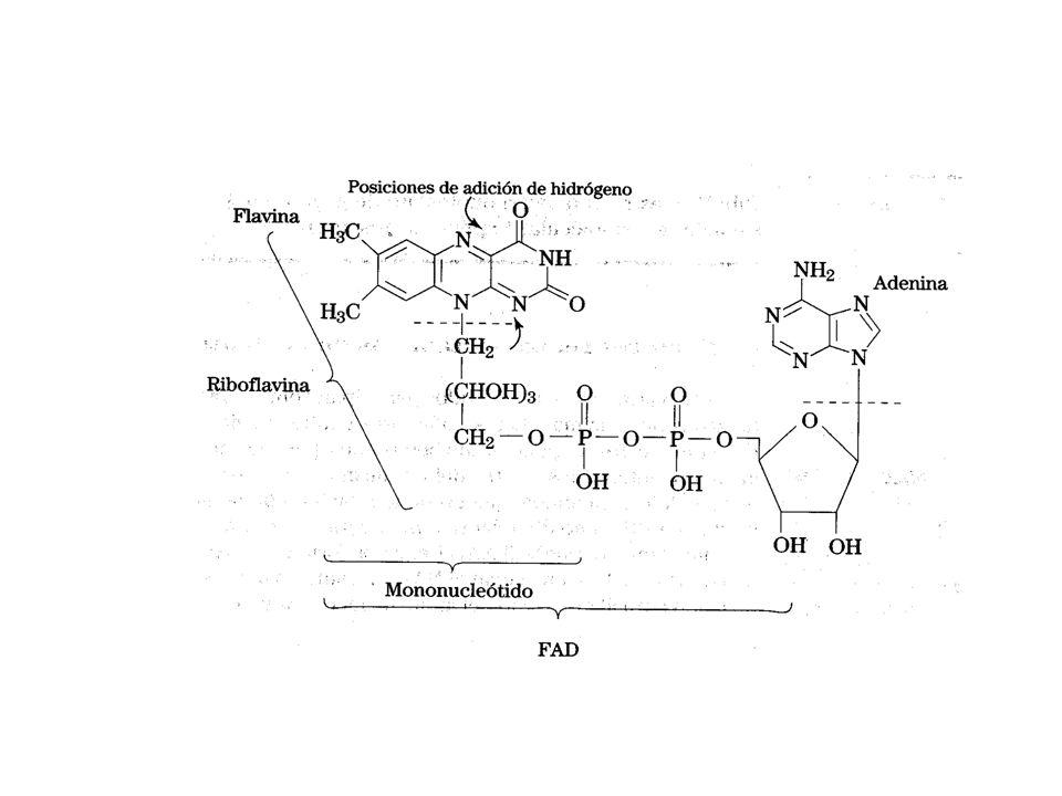 El dinucleótido de flavina y adenina, FAD/ FADH 2 formas oxidada y reducida respectivamente, también son moléculas de oxidación-reducción. El FAD se f