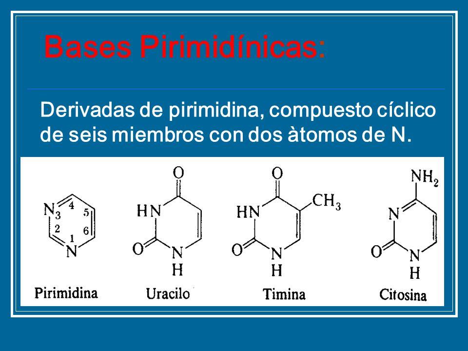 Derivadas de pirimidina, compuesto cíclico de seis miembros con dos àtomos de N. Bases Pirimidínicas: