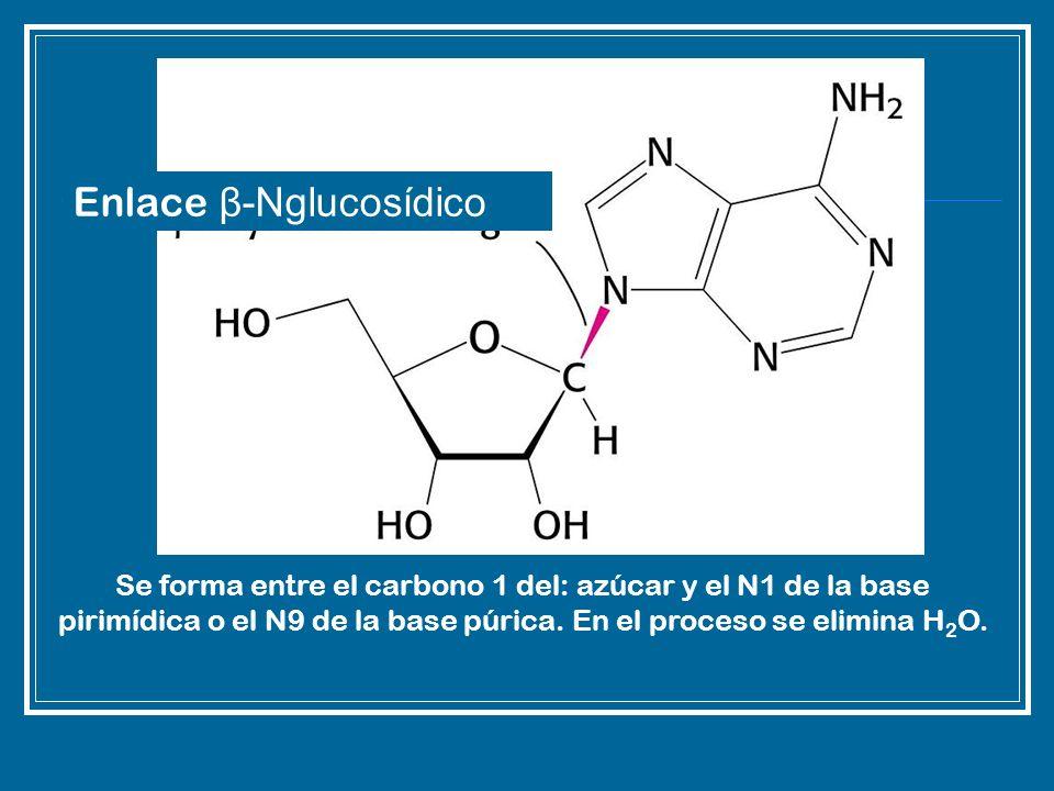 Enlace β-Nglucosídico Se forma entre el carbono 1 del: azúcar y el N1 de la base pirimídica o el N9 de la base púrica. En el proceso se elimina H 2 O.