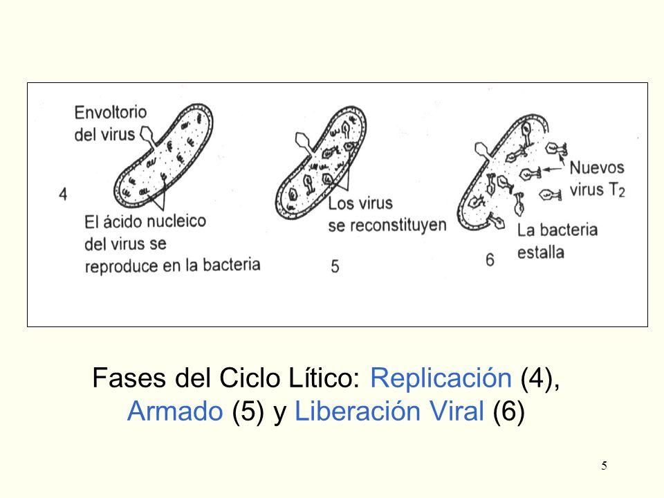 5 Fases del Ciclo Lítico: Replicación (4), Armado (5) y Liberación Viral (6)