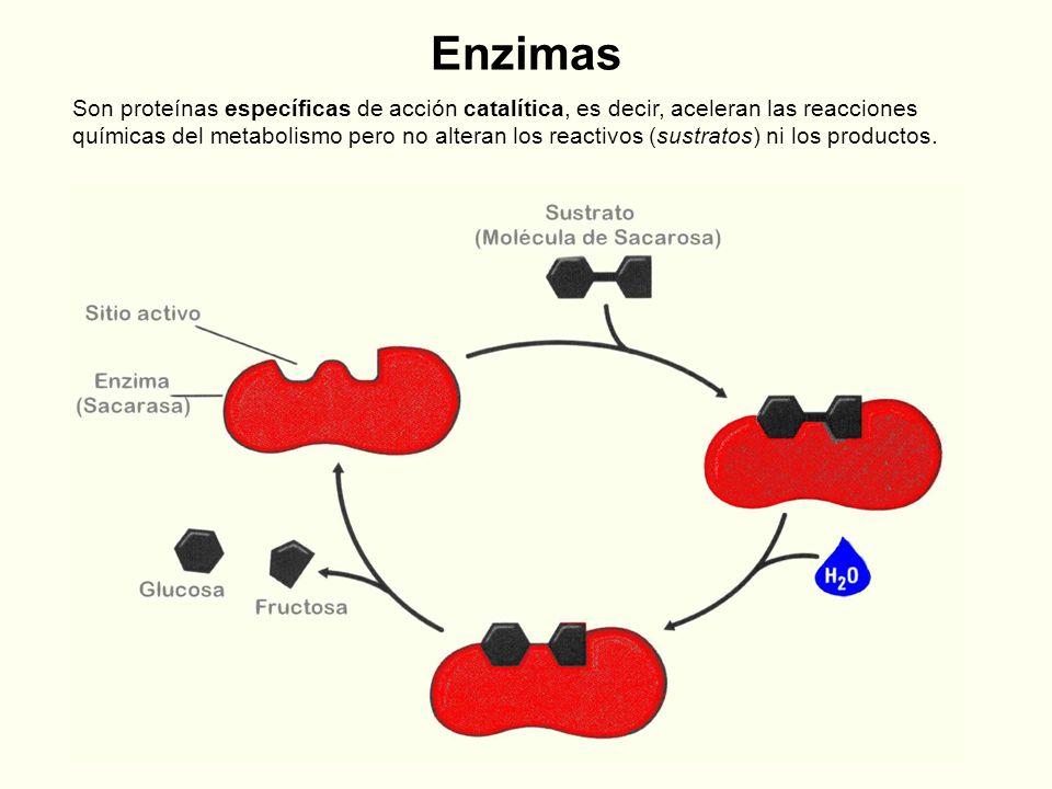 Enzimas Son proteínas específicas de acción catalítica, es decir, aceleran las reacciones químicas del metabolismo pero no alteran los reactivos (sust