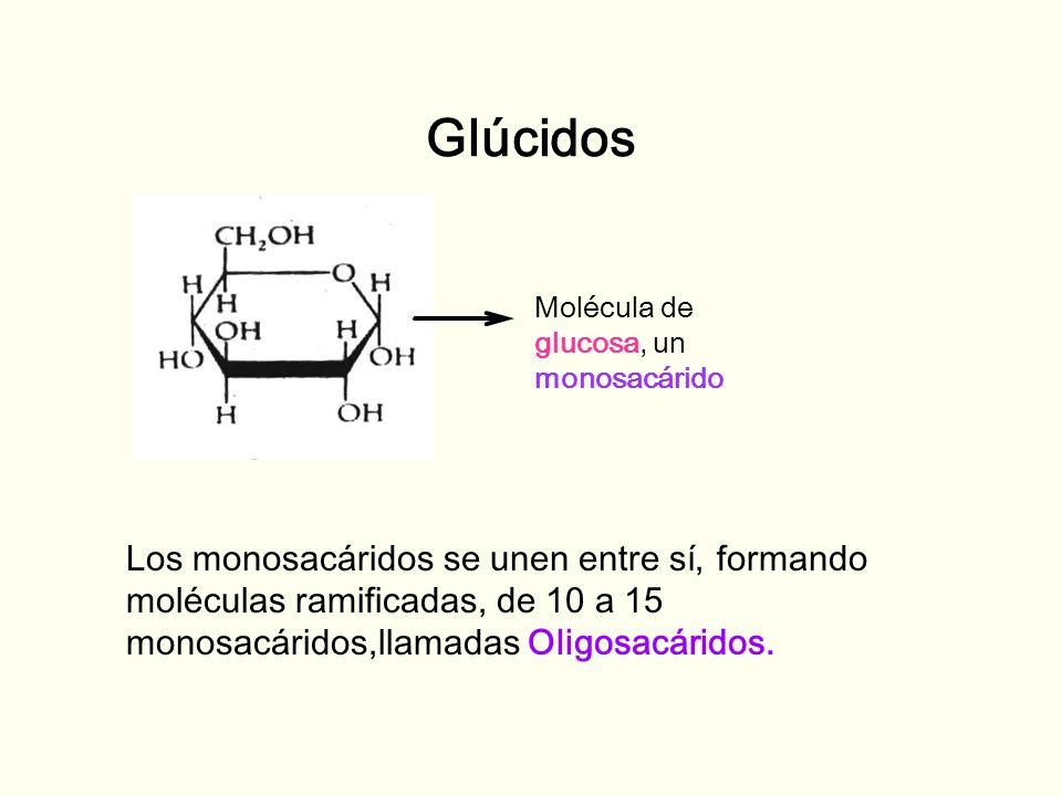 Glúcidos Molécula de glucosa, un monosacárido Los monosacáridos se unen entre sí, formando moléculas ramificadas, de 10 a 15 monosacáridos,llamadas Ol
