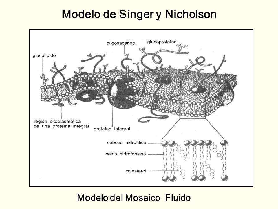 Modelo de Singer y Nicholson Modelo del Mosaico Fluido