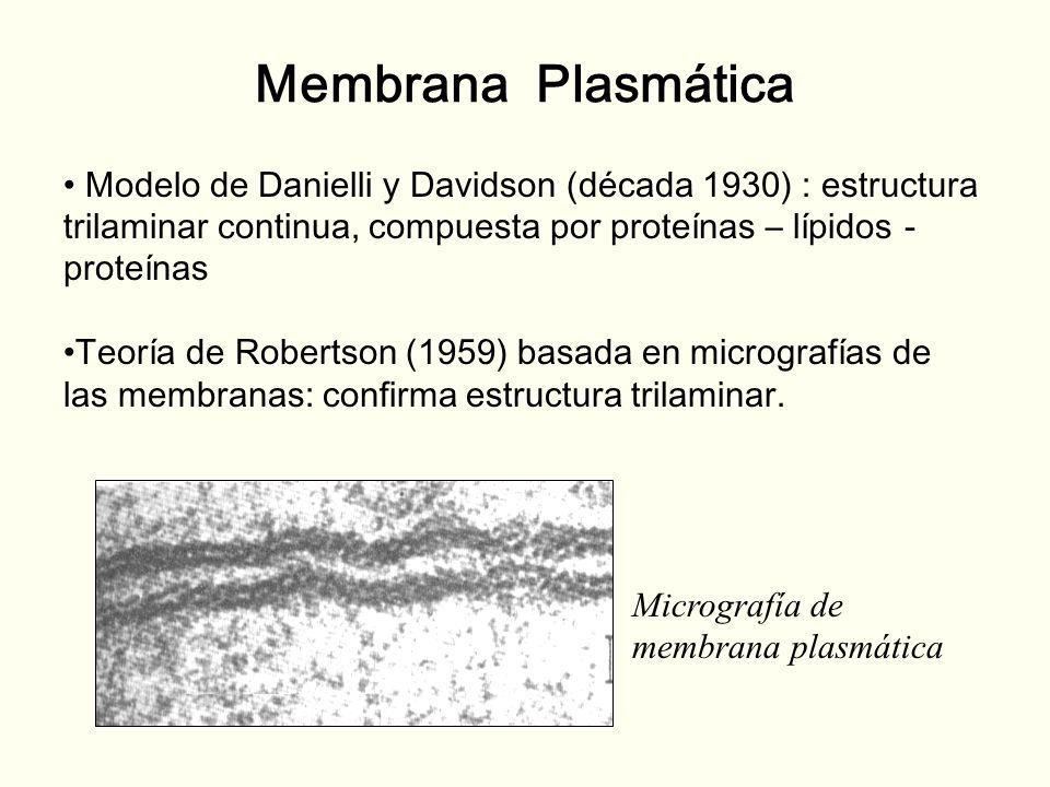 Membrana Plasmática Modelo de Danielli y Davidson (década 1930) : estructura trilaminar continua, compuesta por proteínas – lípidos - proteínas Teoría