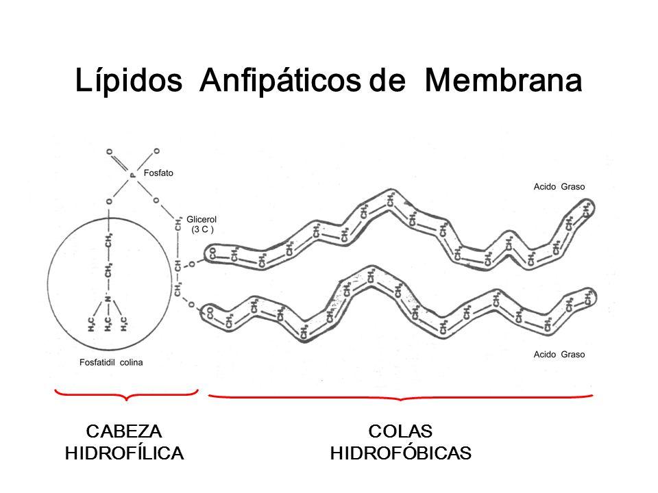 Lípidos Anfipáticos de Membrana CABEZA HIDROFÍLICA COLAS HIDROFÓBICAS