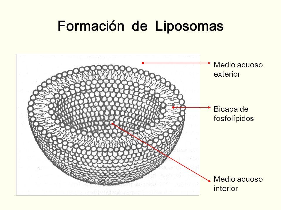 Formación de Liposomas Medio acuoso exterior Bicapa de fosfolípidos Medio acuoso interior
