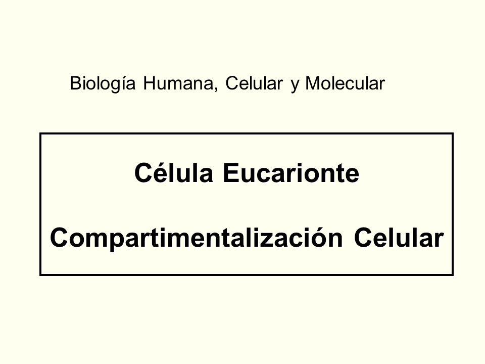 Célula Eucarionte Compartimentalización Celular Biología Humana, Celular y Molecular