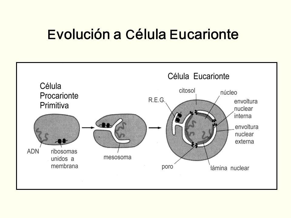 E volución a C élula E ucarionte