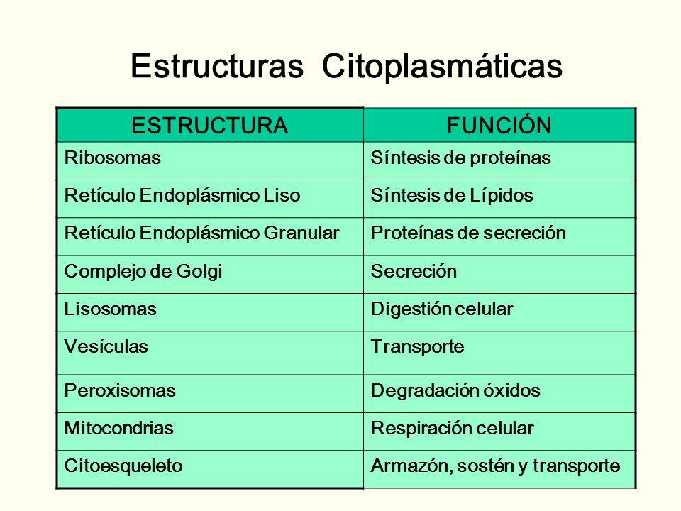 CITOPLASMA Citoplasma citosol + citoesqueleto + organelas – Citosol : porción soluble del citoplasma.