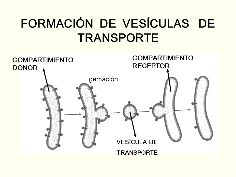 FORMACIÓN DE VESÍCULAS DE TRANSPORTE COMPARTIMIENTO DONOR COMPARTIMIENTO RECEPTOR VESÍCULA DE TRANSPORTE gemación