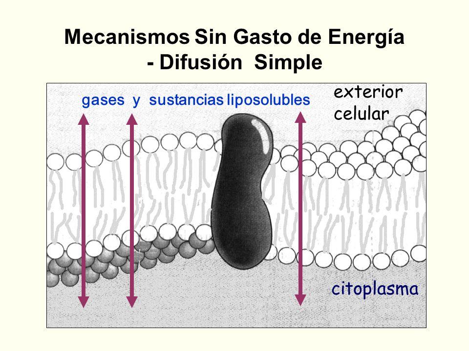 Mecanismos Sin Gasto de Energía - Difusión Simple citoplasma exterior celular gases y sustancias liposolubles