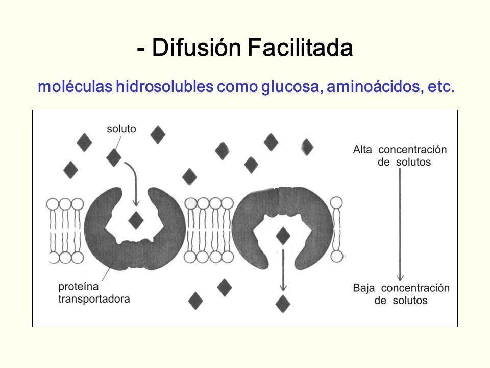 - Difusión Facilitada moléculas hidrosolubles como glucosa, aminoácidos, etc.