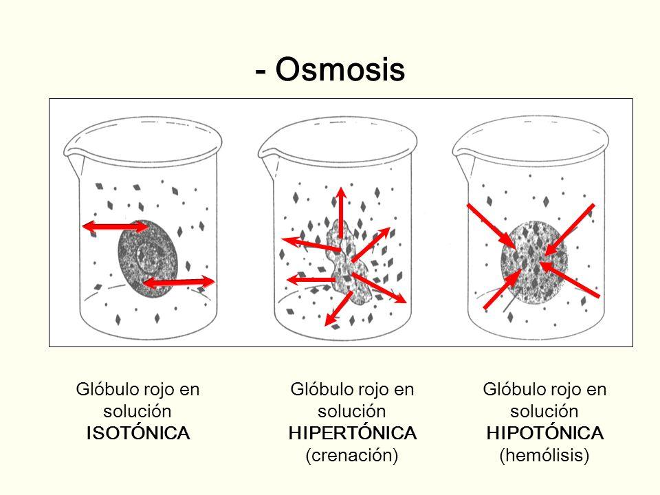 - Osmosis Glóbulo rojo en solución ISOTÓNICA Glóbulo rojo en solución HIPERTÓNICA (crenación) Glóbulo rojo en solución HIPOTÓNICA (hemólisis)