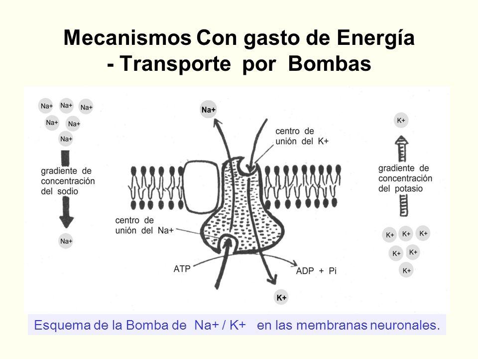 Mecanismos Con gasto de Energía - Transporte por Bombas Esquema de la Bomba de Na+ / K+ en las membranas neuronales.